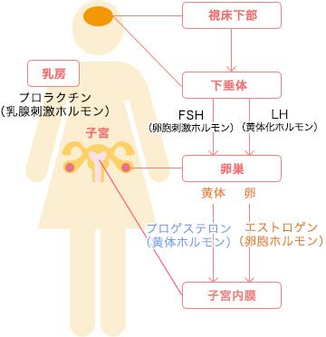 女性ホルモン分泌の仕組み